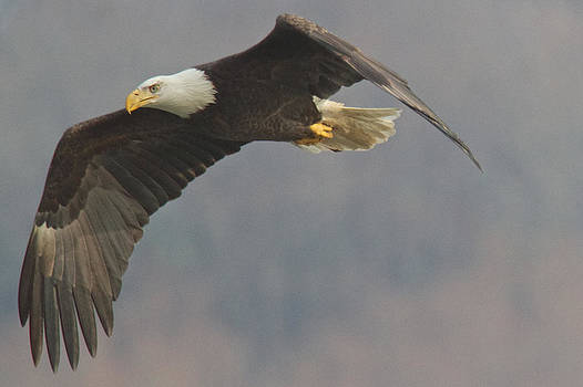 Bald Eagle on the wing by Stanley Klein