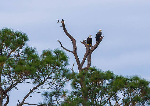 Bald Eagle Pair by Tom Goldsmith