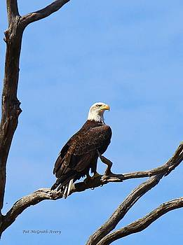 Bald Eagle by Pat McGrath Avery