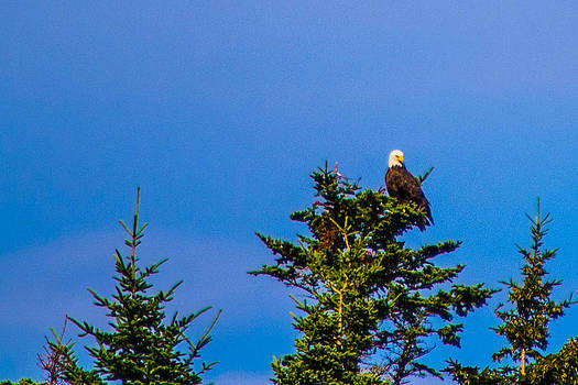 Bald Eagle Perched on Tree by Jason Brow