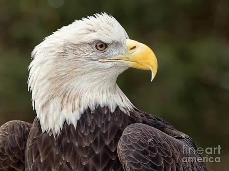 Joshua Clark - Bald Eagle Portrait