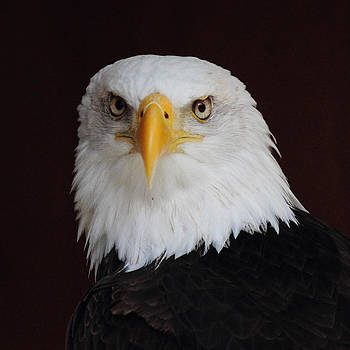 Randy Hall - Bald Eagle Portrait