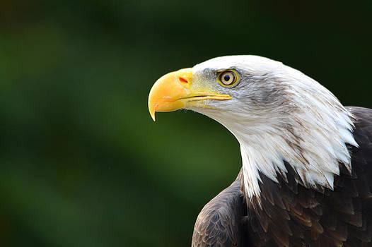 Bald eagle profile by Steen Hovmand Lassen