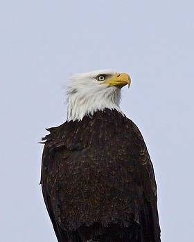Bald Eagle- Proud and Free by Dora Korzuchowska