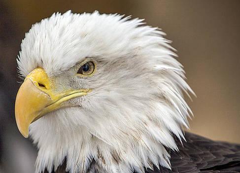 Bald Eagle by Robert  Aycock