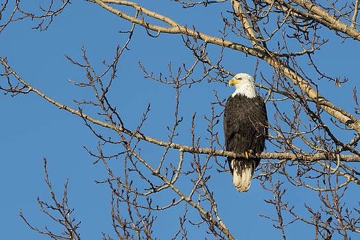 Paul W Sharpe Aka Wizard of Wonders - Bald Eagle Sat in a Maple Tree