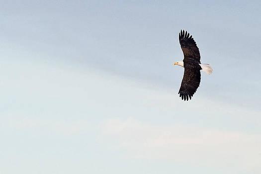 Bald Eagle Soaring by Jaci Harmsen