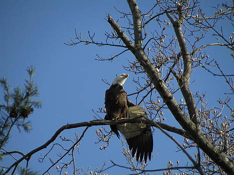 Bald Eagle Stretching Wing by J C