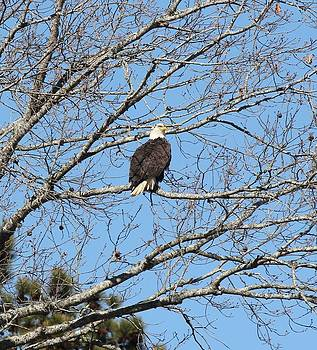 Bald Eagle by Suzanne  McClain