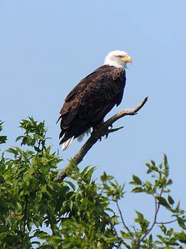 Bald Eagle by Teresa Schomig