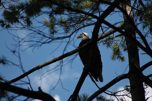 Bald Eagle by Valerie Chamberlin