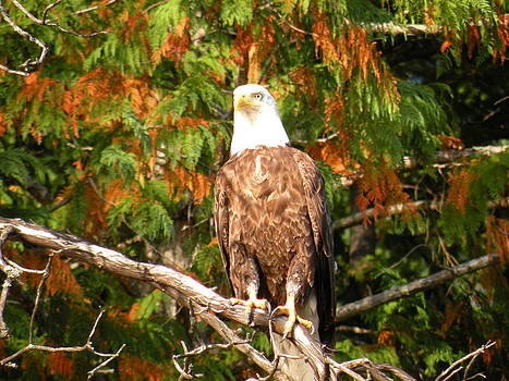Bald Eagle by Wendy Brunell