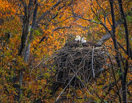 Bald eagles nest in Fall by Mark Steven Perry