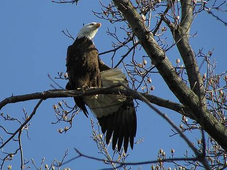 Bald Eagle's Outstretched Wing by J C