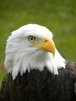 Peggy  McDonald - Bald Headed Eagle