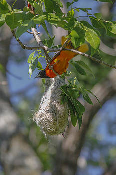 Baltimore Oriole and nest by Jill Bell