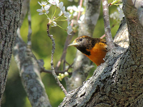 Kimberly Perry - Baltimore Oriole Female