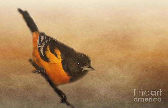 Baltimore Oriole by Pam  Holdsworth