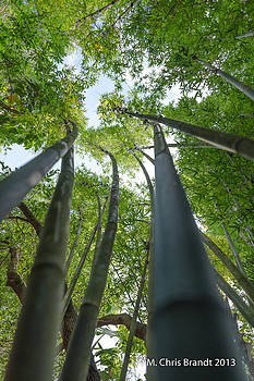 Bamboo forest by M Chris Brandt