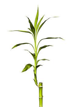 Jeff Burton - Bamboo