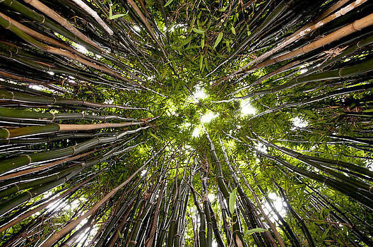 Bamboo by Joe Bull