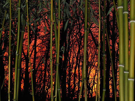 Bamboo Sunset by Sharon Costa