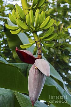 Bob Phillips - Banana Bloom