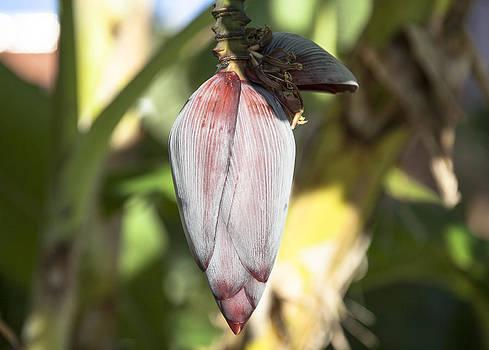 Ramunas Bruzas - Banana Blossom