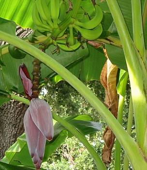 Banana Flower by Marian Hebert