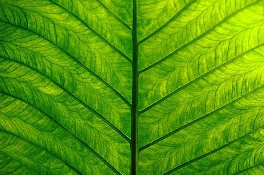 Joe Connors - Banana Leaf