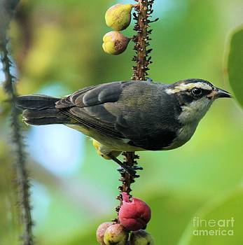 Adam Jewell - Bananaquit On A Berry Branch