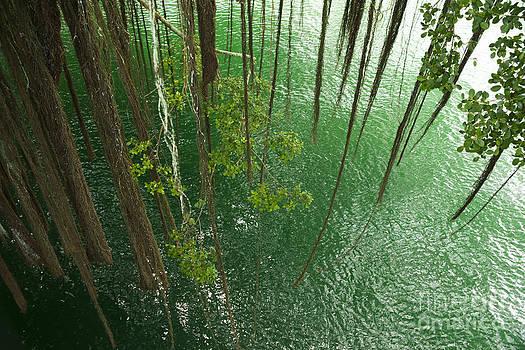 Charmian Vistaunet - Banyan Tree Aerial Roots