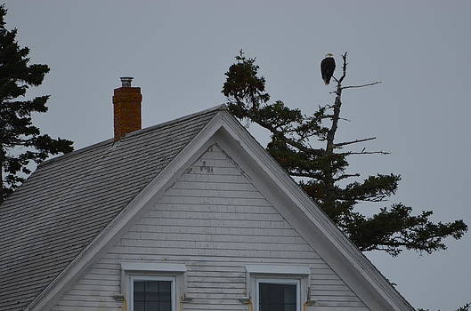 Bar Harbor Bald Eagle by Chandra Wesson