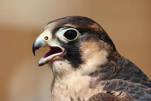 Erin Tucker - Barbary Falcon 2