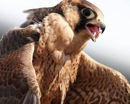 Erin Tucker - Barbary Falcon