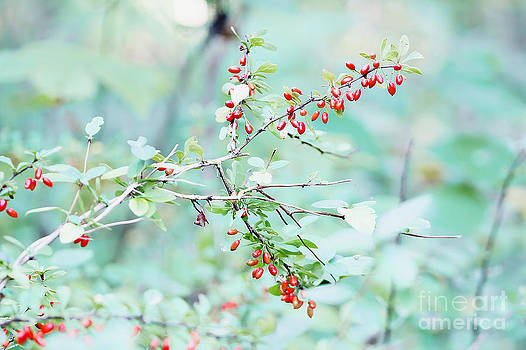 Mother Nature - Barberry Pastel Dream