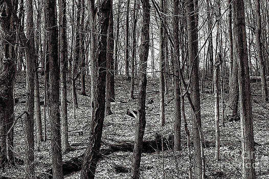 Bare Trees In The Forest by Miss Dawn