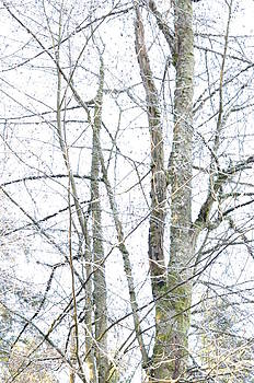 Bare Winter Trees by Tracy Lamus