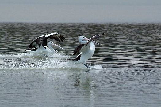 Barefoot Skiing Pelican Style by Douglas Jones