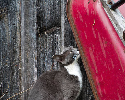 Barn Cat by Nickaleen Neff