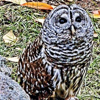 Anne Ferguson - Barn Owl