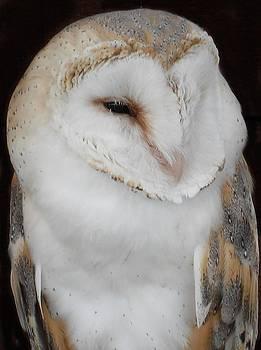 Barn owl by David Otter