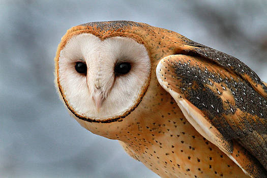Barn Owl by Durward Henderson