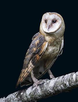 Barn Owl by Linda A Waterhouse