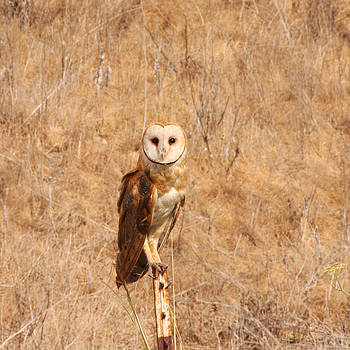Barn Owl Perching by Bob and Jan Shriner