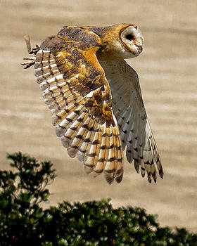 Barn Owl by Robert L Jackson