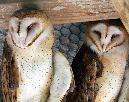 Barn Owls by David Yunker
