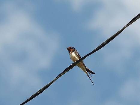 Barn Swallow by Billy  Griffis Jr
