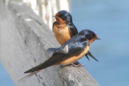 Barn Swallow Pair by Bob and Jan Shriner