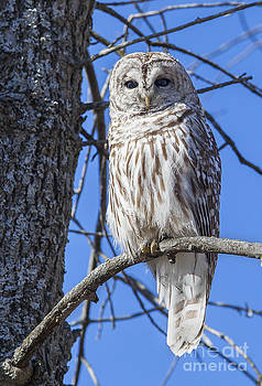 Barred Owl - chouette raye by Nicole  Cloutier Photographie Evolution Photography